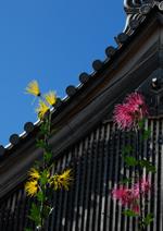 大覚寺と菊